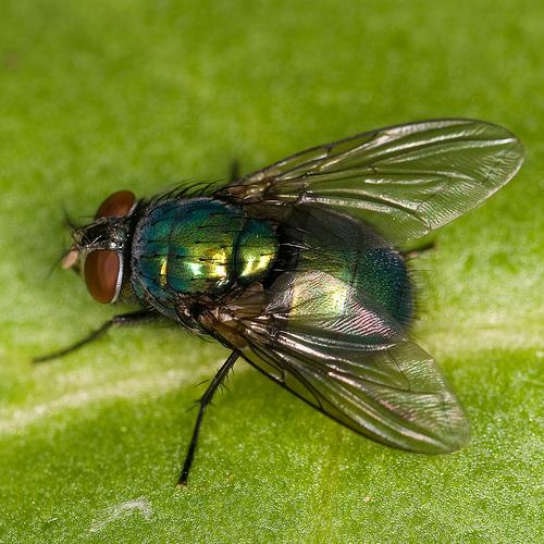 Eenmaal je één vlieg binnen hebt, volgt de rest meestal zeer snel. Dit komt omdat vliegen geur- en lokstoffen uitscheiden, iets wat andere vliegen aantrekt.